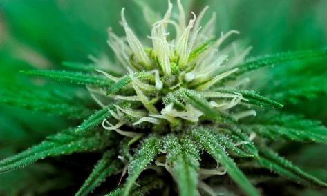 cannabis bud.jpg