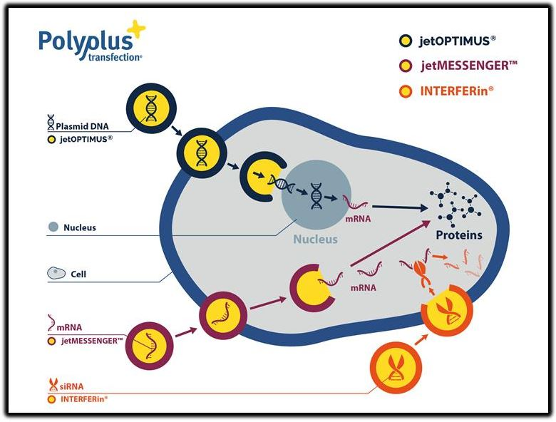 polypus transfection